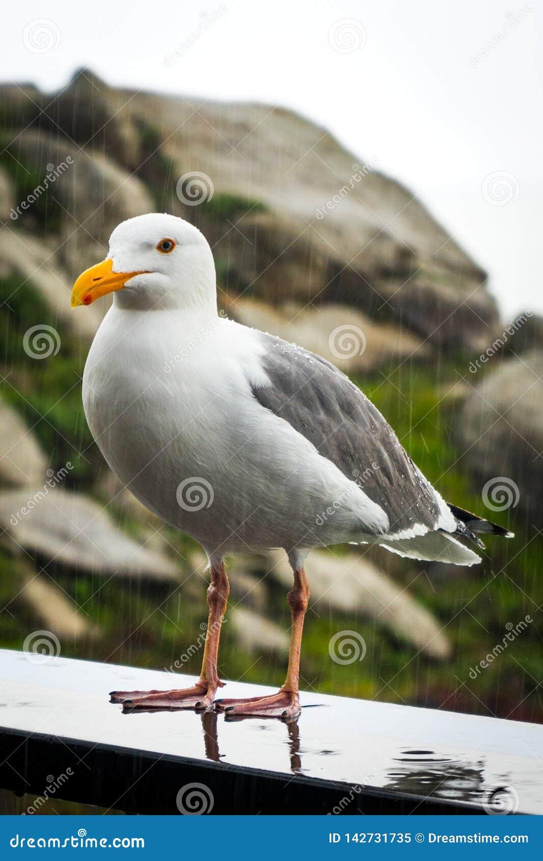 Seagull under the rain in Sonoma Coast State Park