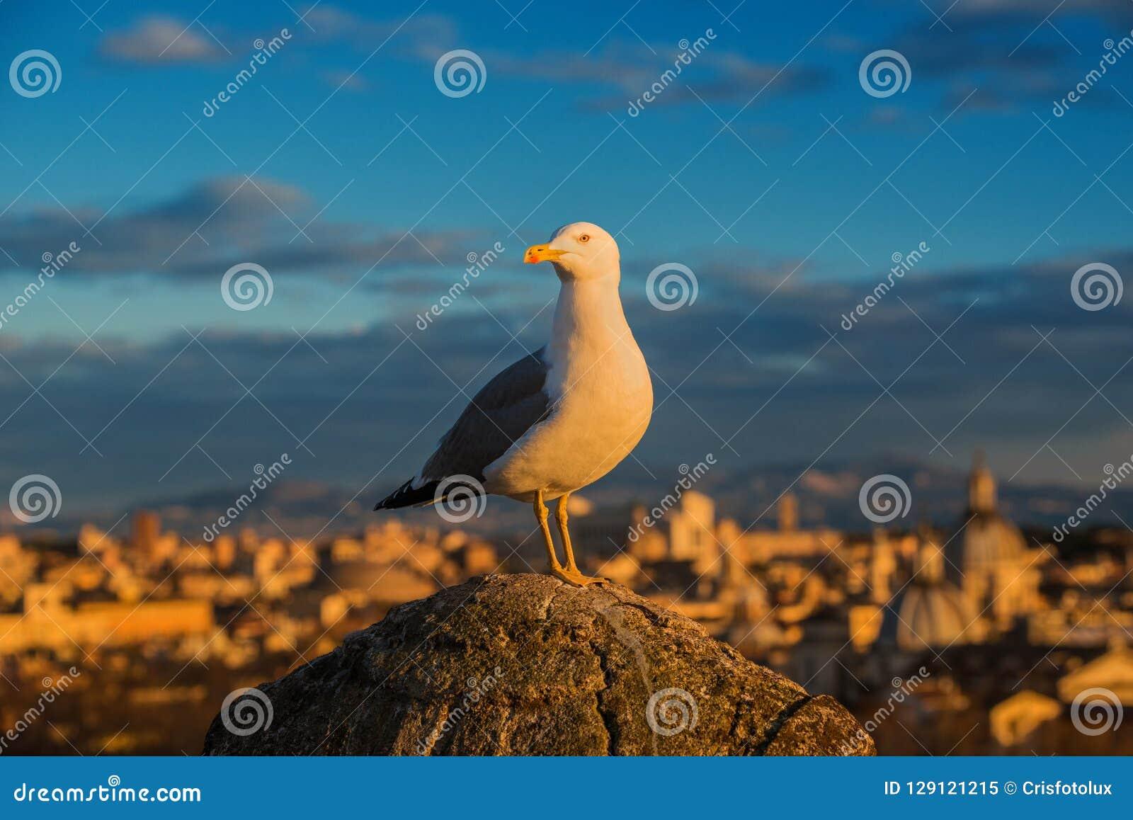 Seagull w Rzym