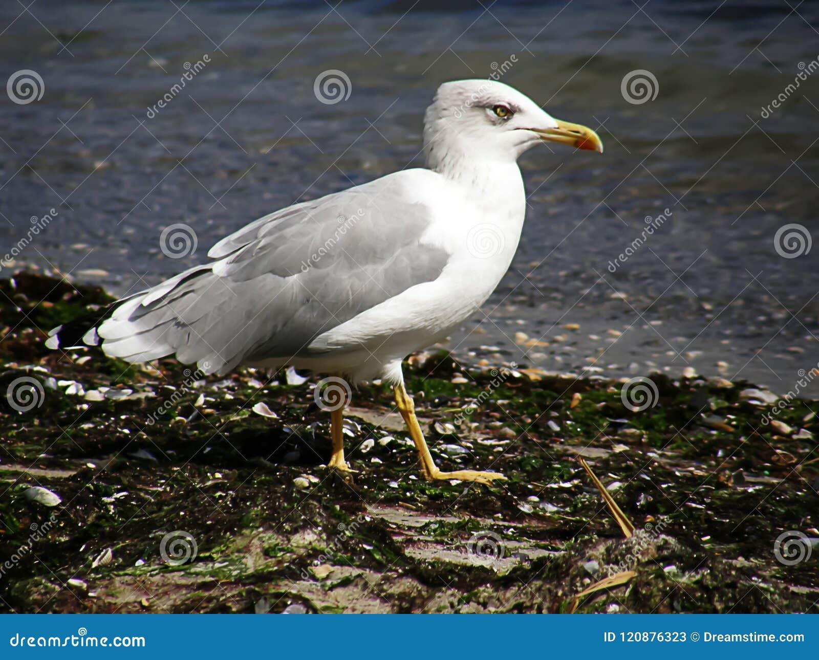 Seagull walking in the black sea