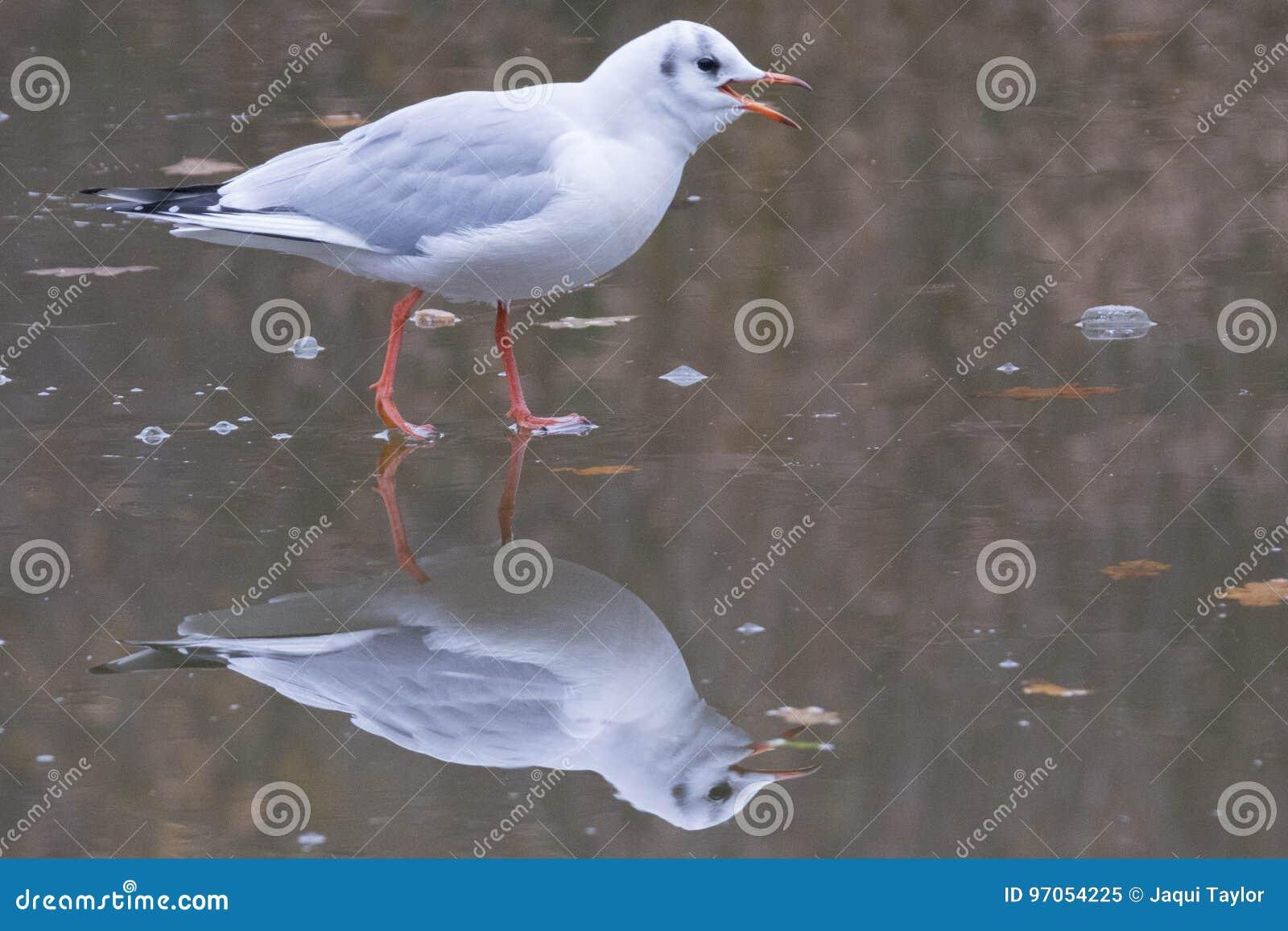 Seagull walking on ice