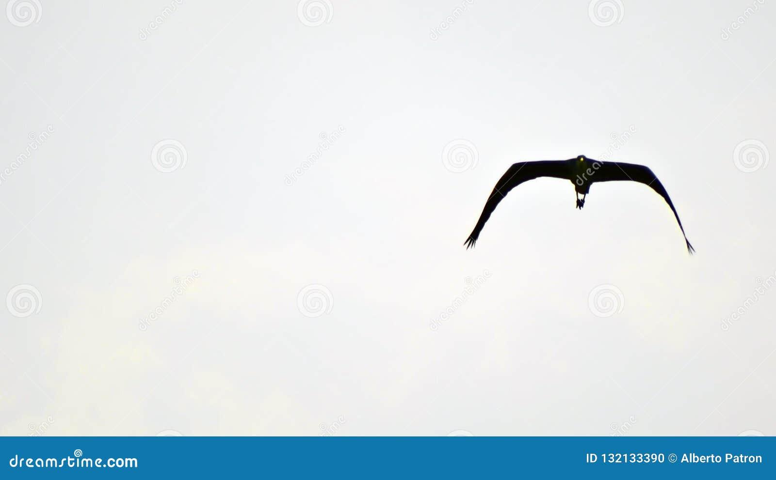 Seagullen med opern vingar i himlen som är klar för, annonserar