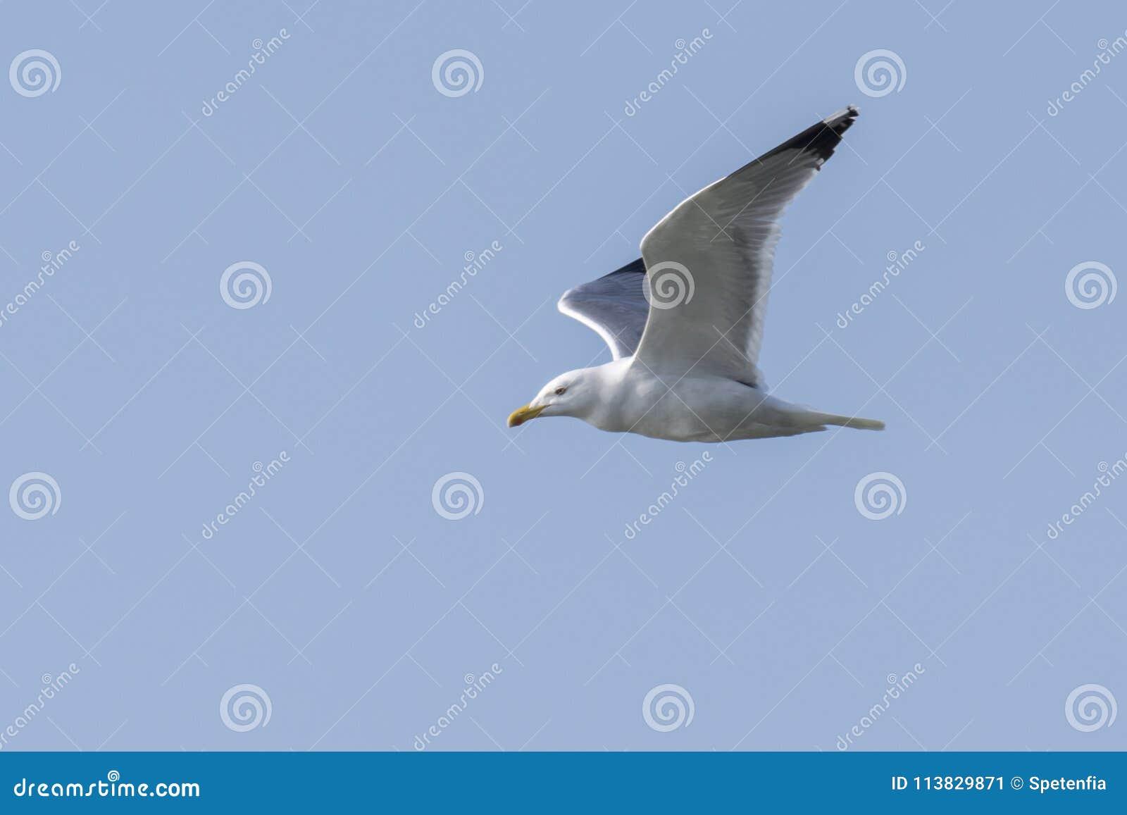 Seagullflyg på sjön