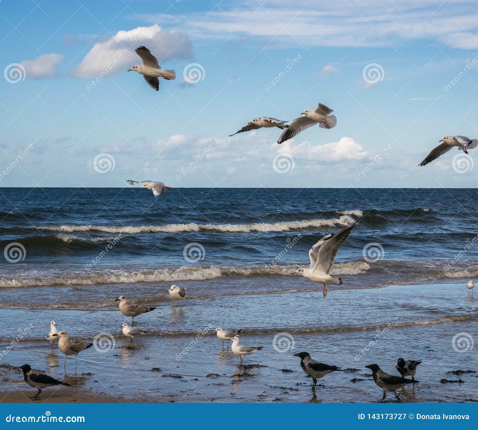 Seagulls που πετούν πέρα από την μπλε θάλασσα και που στέκονται στα ρηχά νερά