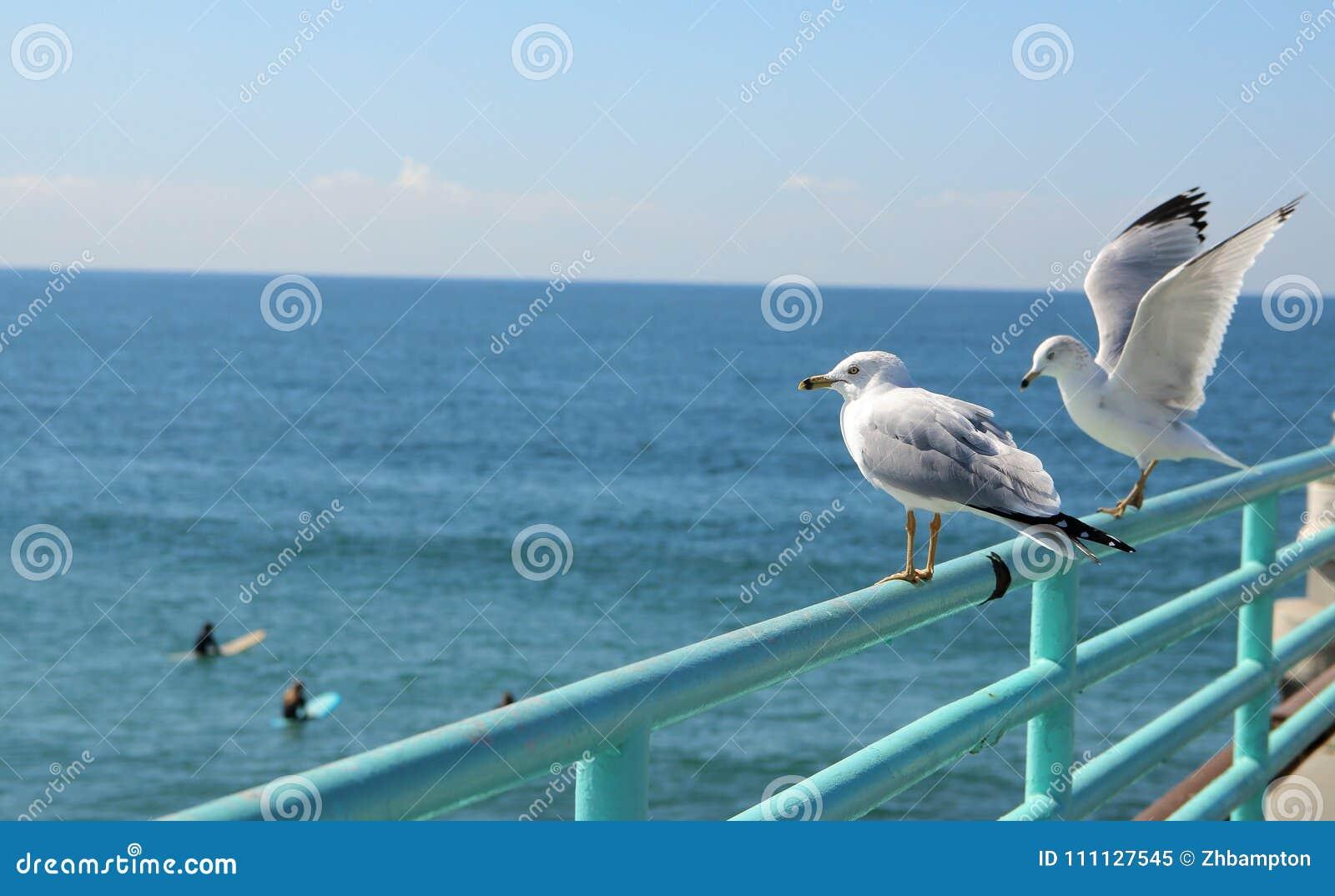 Seagulls που προσέχουν τα surfers στο Μανχάταν Μπιτς Λος Άντζελες