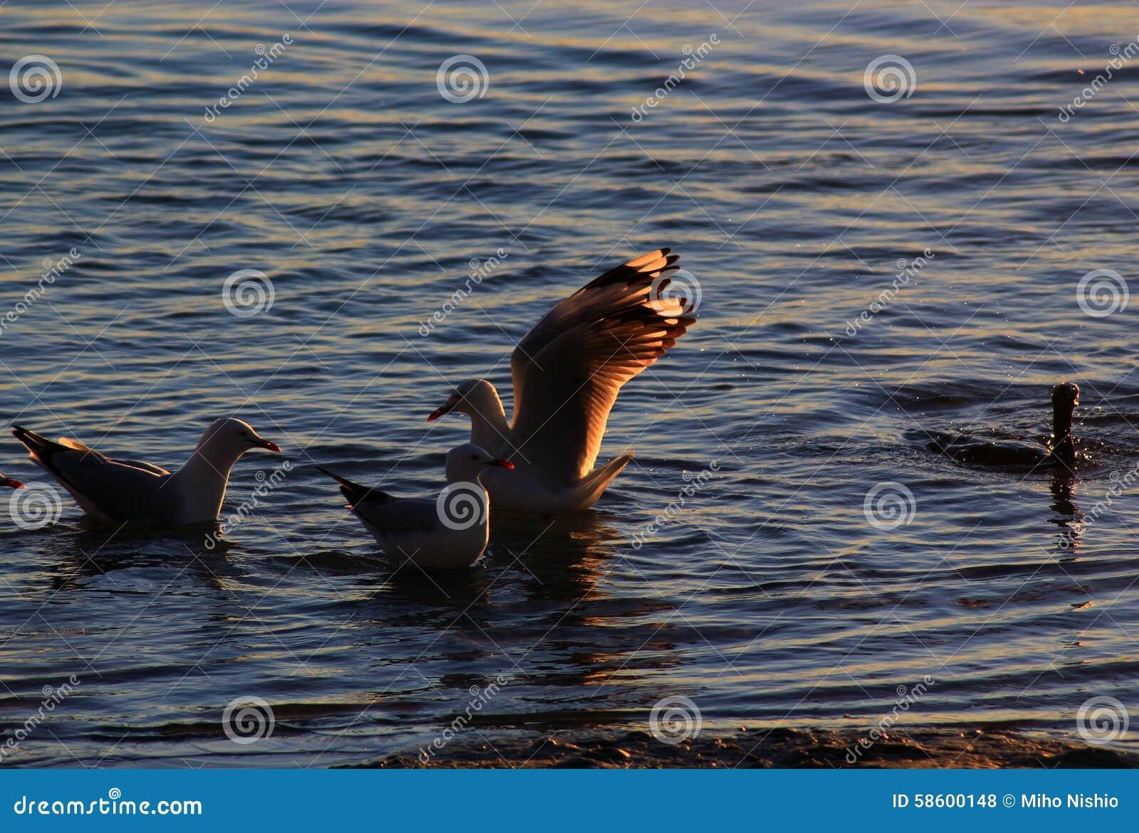 Seagulls συναντιούνται στο νερό