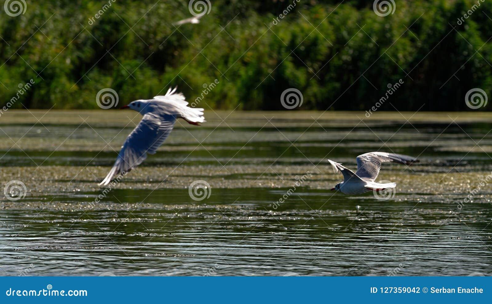 Seagulls του Queensland mooloolaba ακτών της Αυστραλίας πετώντας που λαμβάνεται ηλιοφάνεια