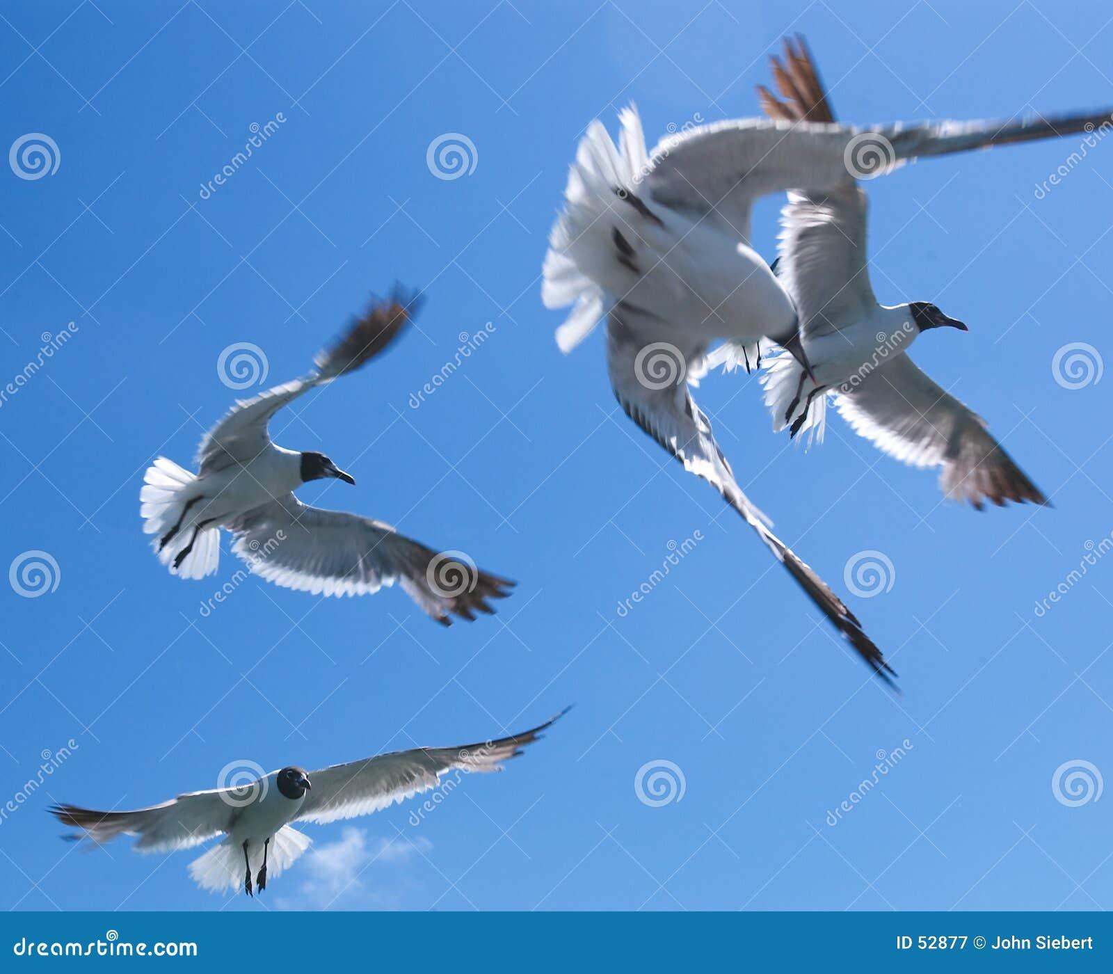 Download Seagulls 1 στοκ εικόνα. εικόνα από ράμφη, όψη, βακκινίων - 52877