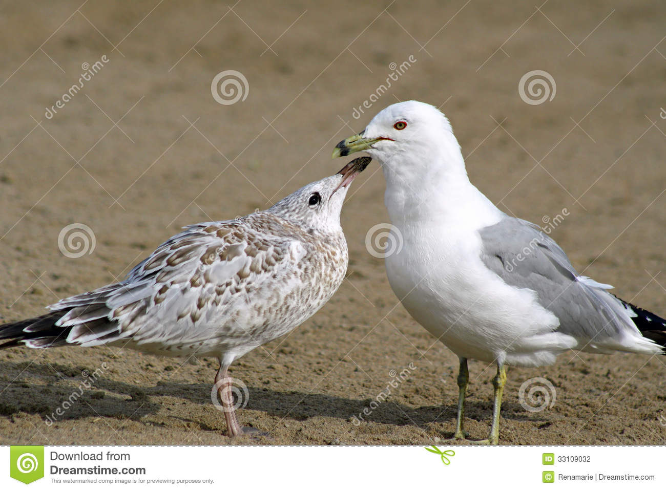 Apologise, Adult sea gull seems magnificent