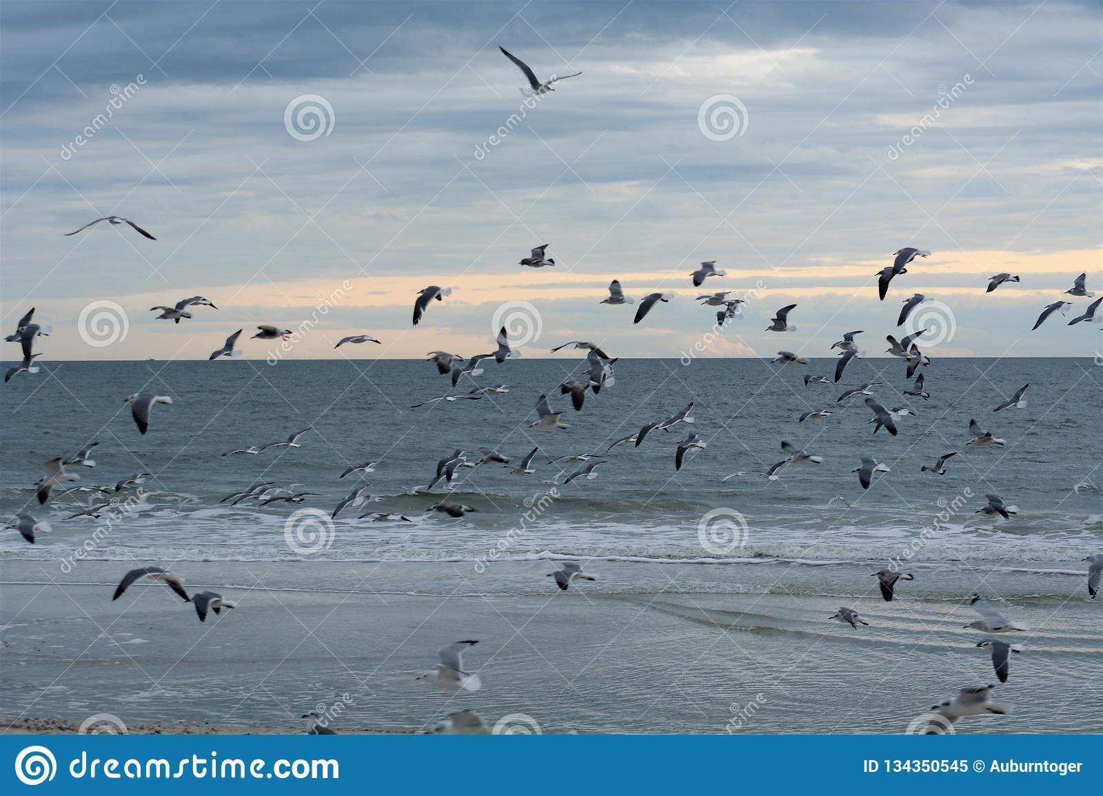 Seagulls Fly With The Flock On The Island Beach Stock Image