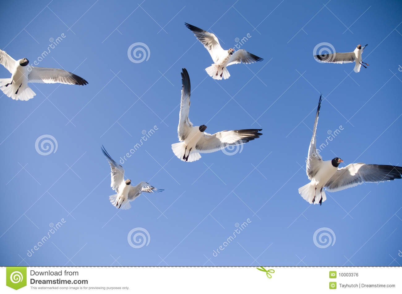 Download Seagulls flying stock photo. Image of bird, swoop, clear - 10003376