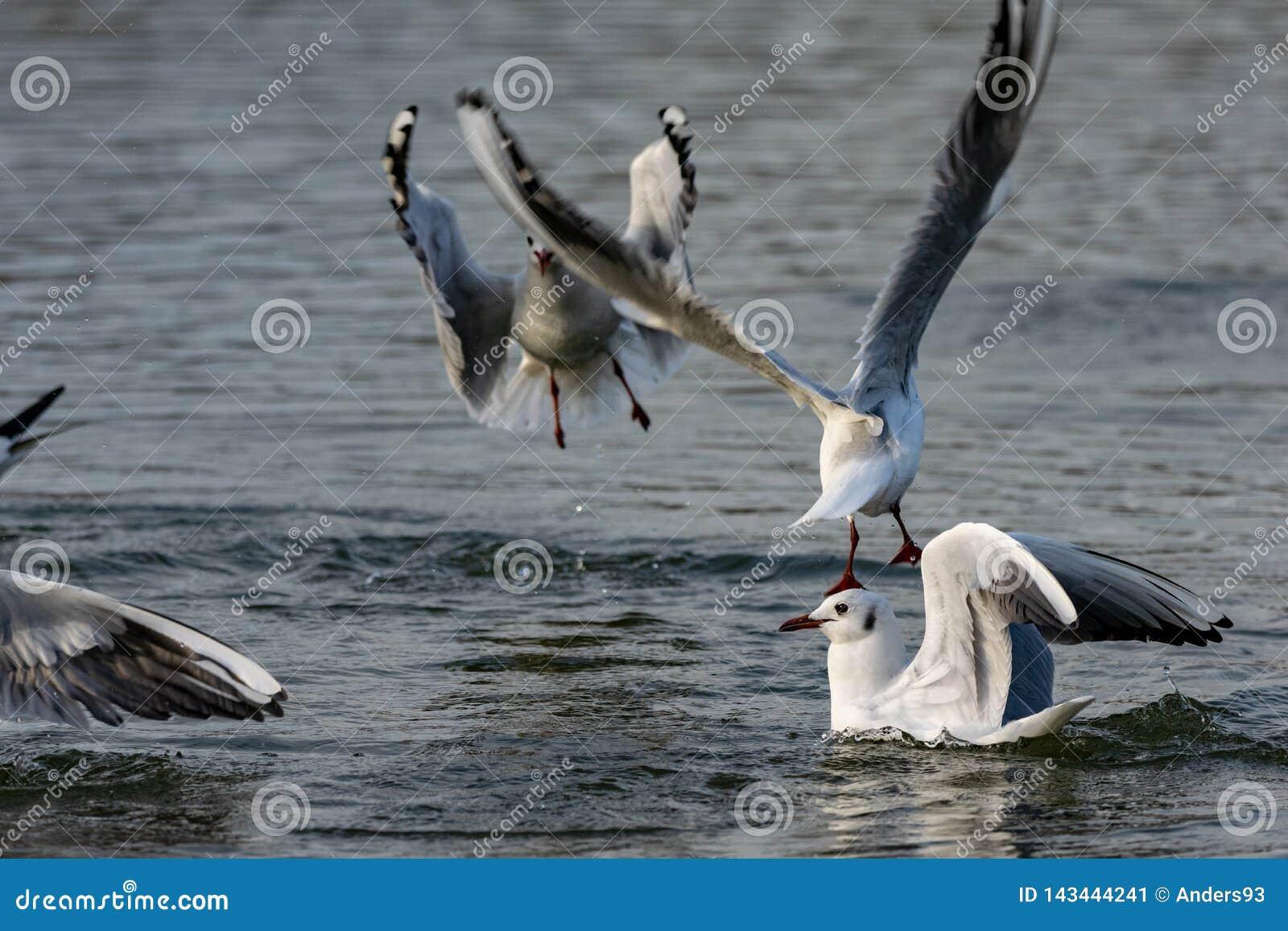 Seagulls l?duje na wodzie