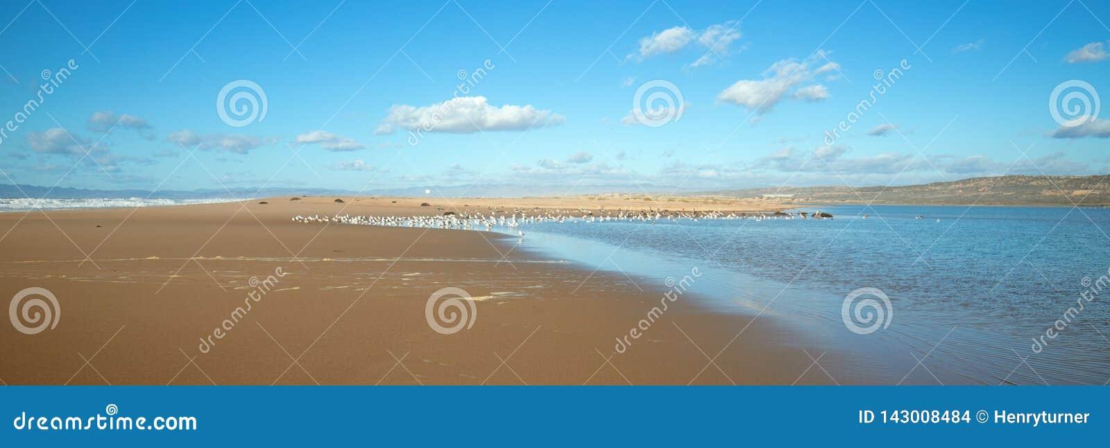 Seagulls mellan den Stilla havet- och Santa Maria floden på Rancho Guadalupe Sand Dunes på central kust av Kalifornien USA