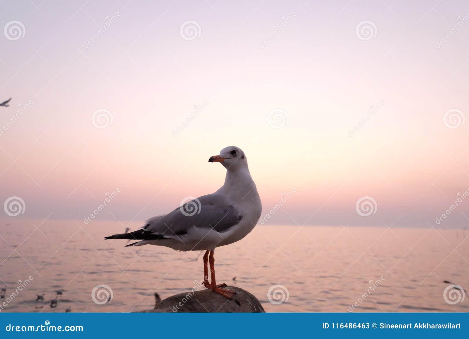 Seagulls nadmorski przy uderzenia Pu w Thaoland