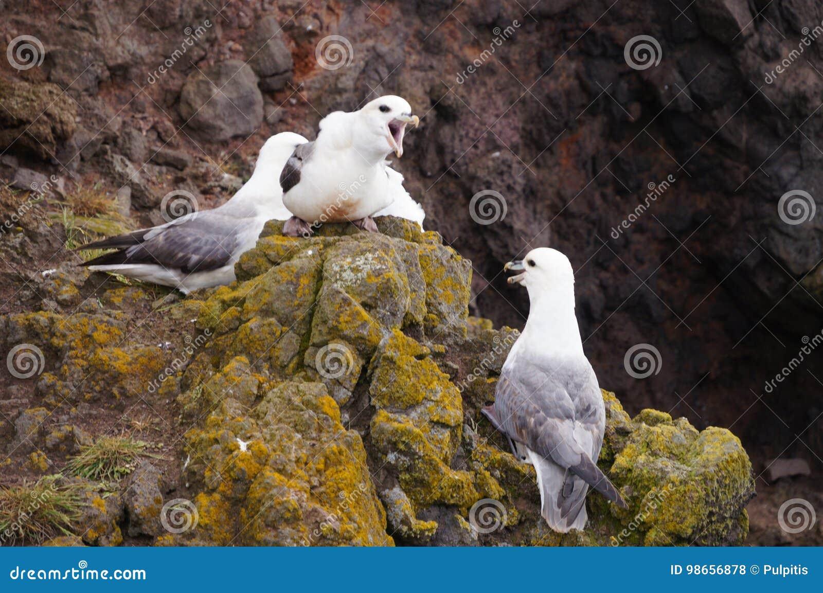 Seagulls Nest On Latrabjarg Cliffs, Iceland Stock Photo
