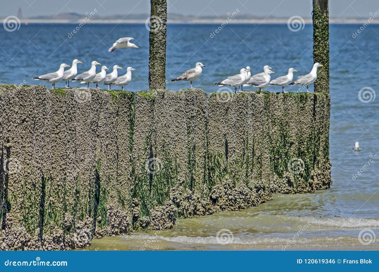 Seagulls på en trävågbrytare