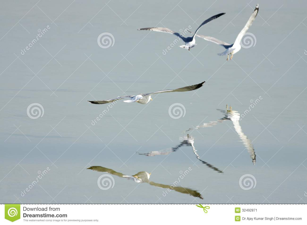 Seagulls And Reflection On Water Stock Image Image Of Bipedal