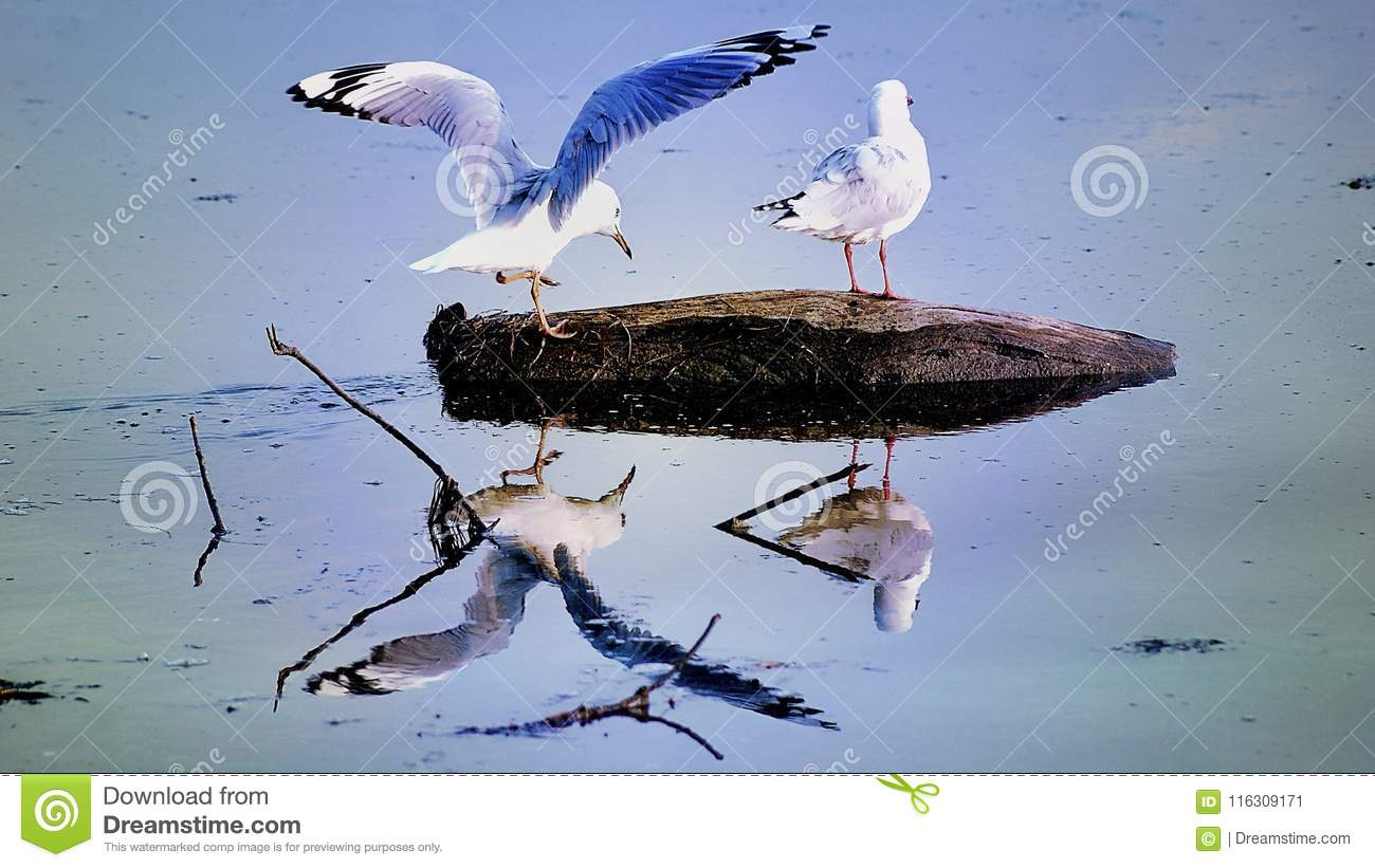 Seagulls On Rock Stock Image Image Of Bills Inland 116309171