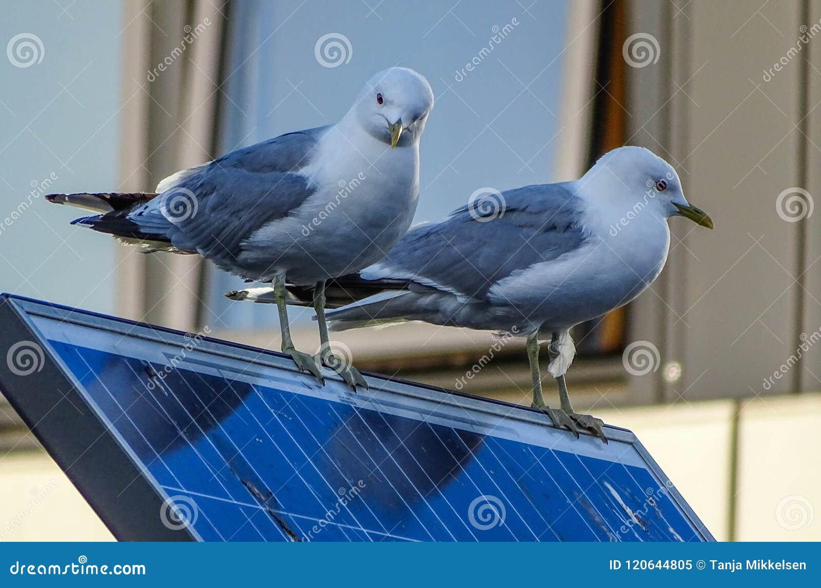 Seagulls on solar panel