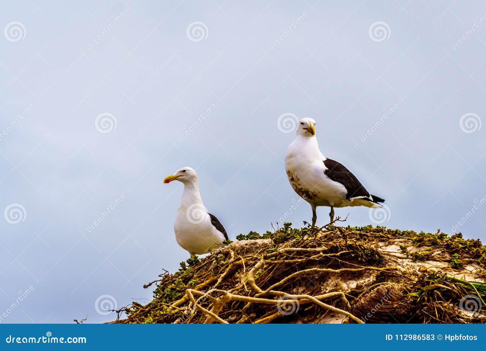 Seagulls at Strandfontein beach on Baden Powell Drive between Macassar and Muizenberg near Cape Town