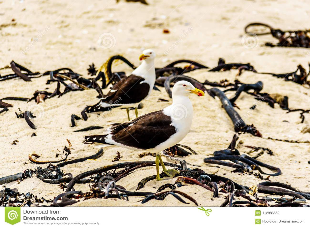 Seagulls at Strandfontein beach on Baden Powell Drive between Macassar and Muizenberg near Cape Town