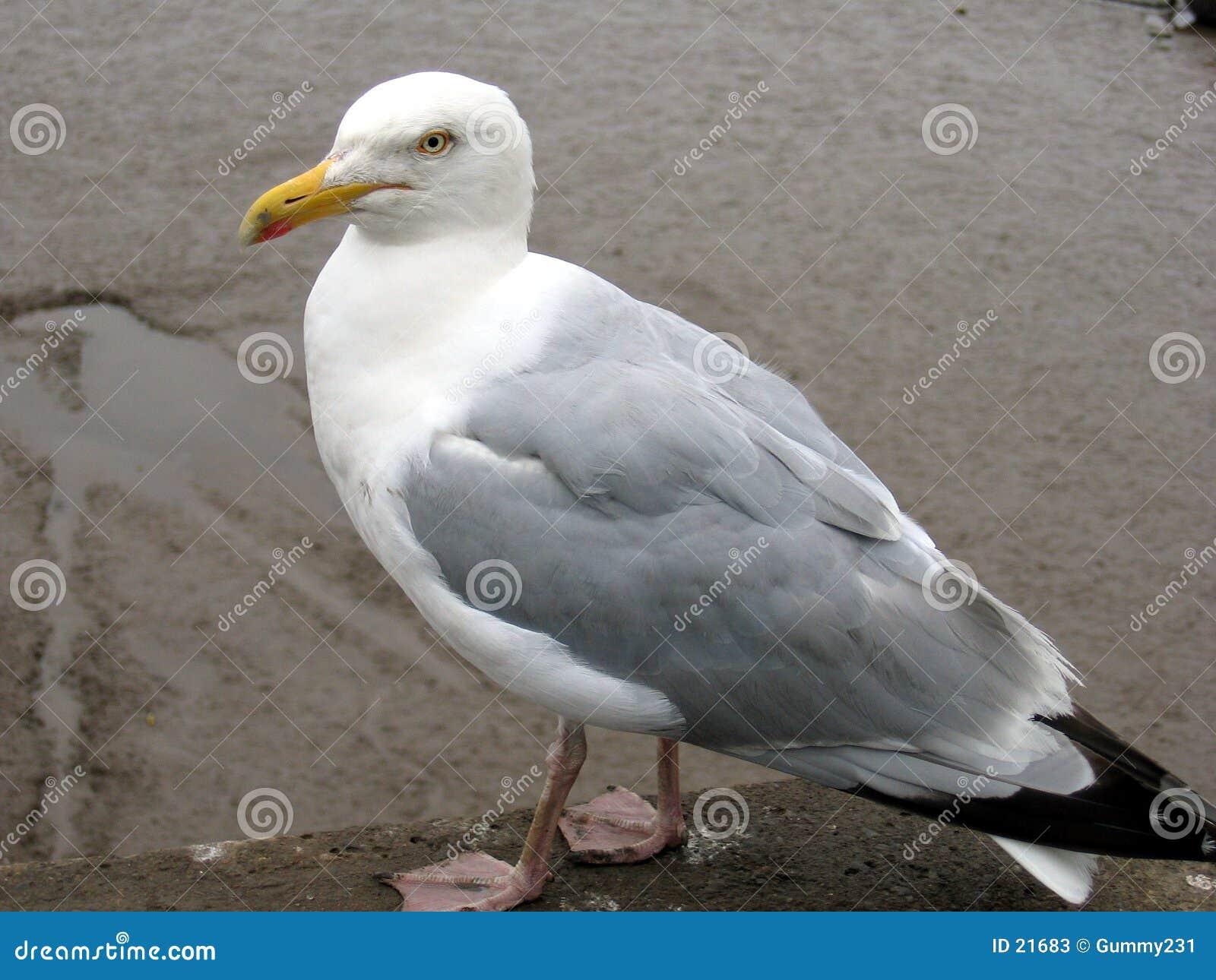 Seagullstanding