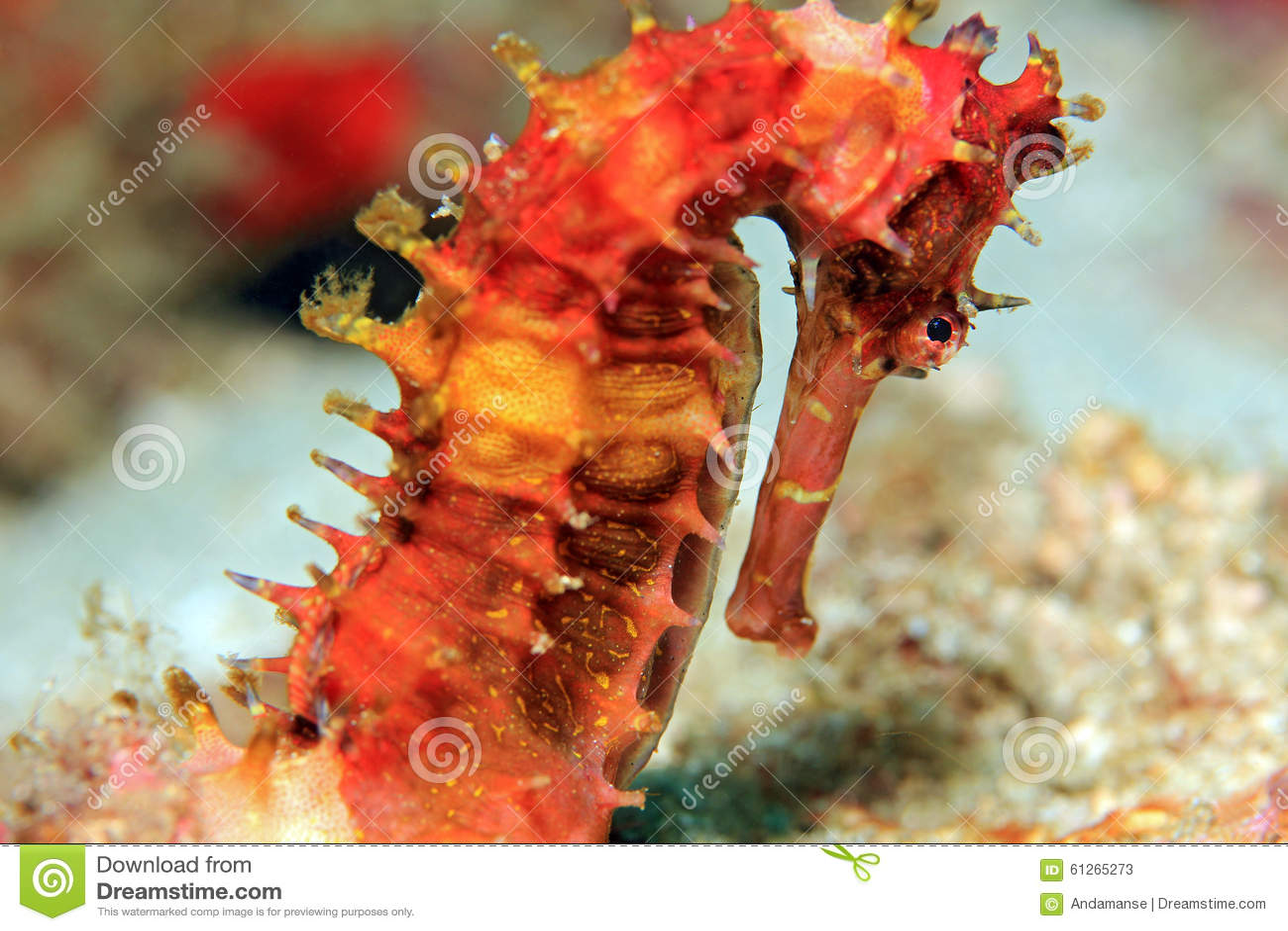 Seahorse espinoso