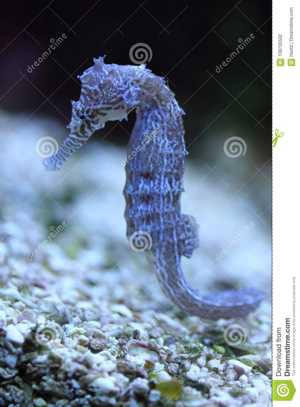 Seahorse Hippocampus Stock Photo Image Of Ancient Hippocampus 108735502
