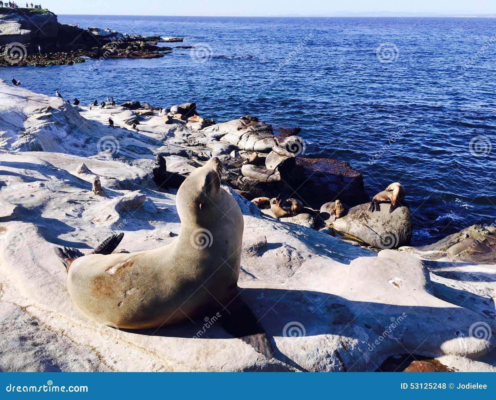 seal on beach at la jolla  san diego california usa stock ocean waves clip art gif ocean waves clip art chalkboard background