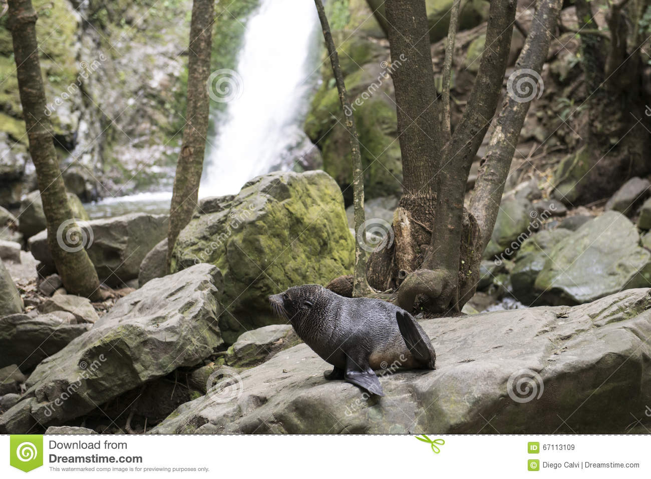 Seal breeding in the forest New Zealand