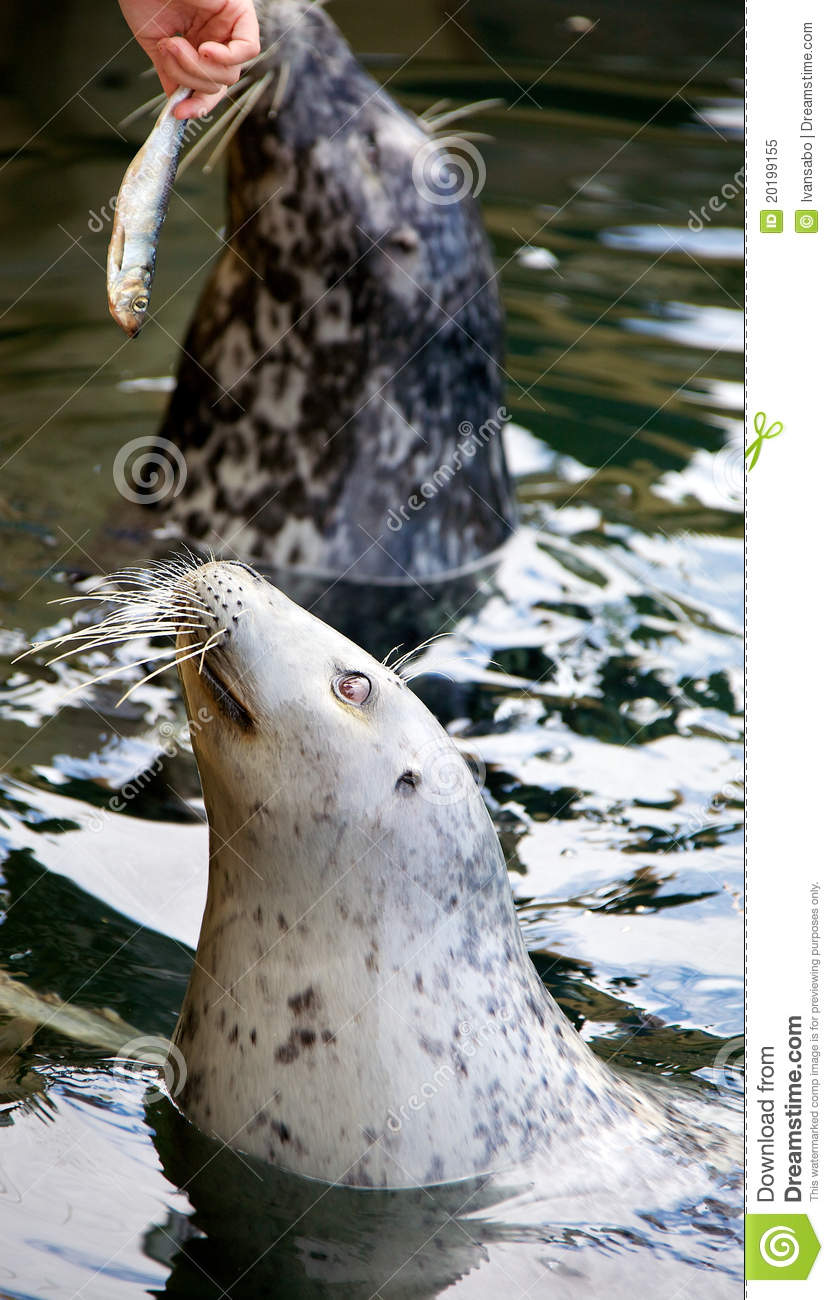 Seal eating fish royalty free stock photo image 20199155 for Dreaming of eating fish