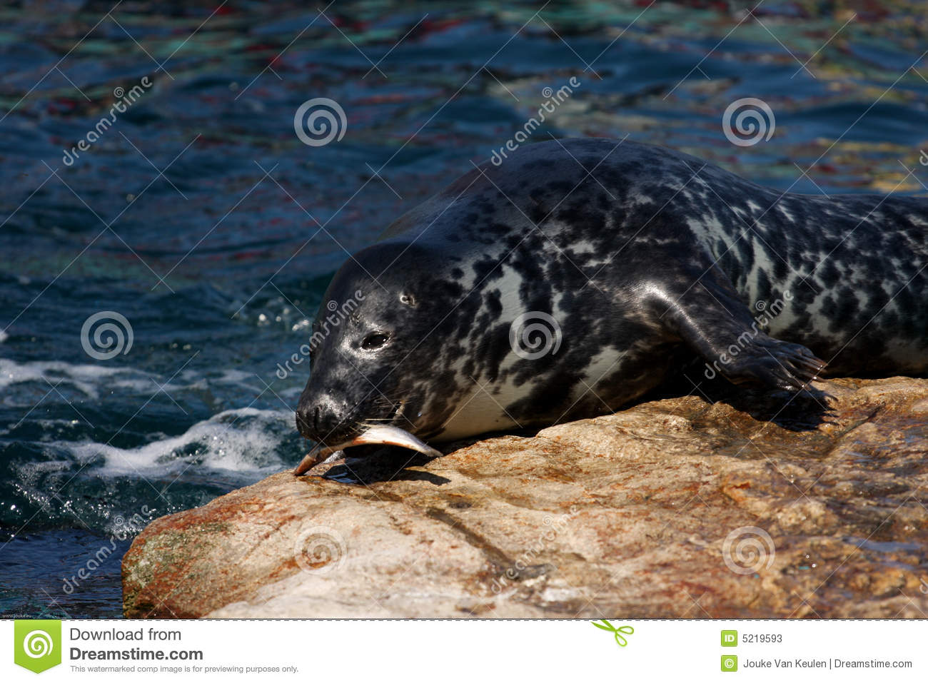 Seal eating fish stock photos image 5219593 for Dreaming of eating fish