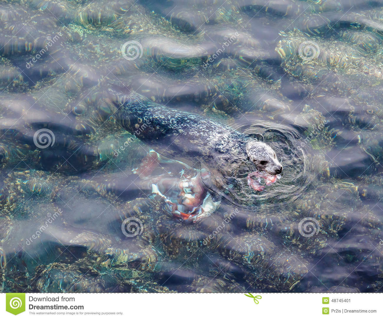 Seal Eating Giant Pacific Octopus Stock Image - Image of ... - photo#22