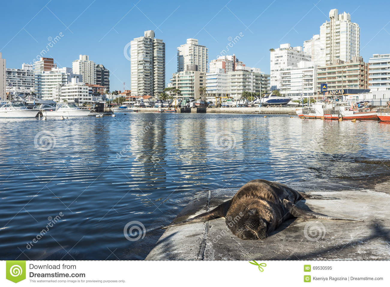 Seal lying in front of the yacht club in punta del este for London club este
