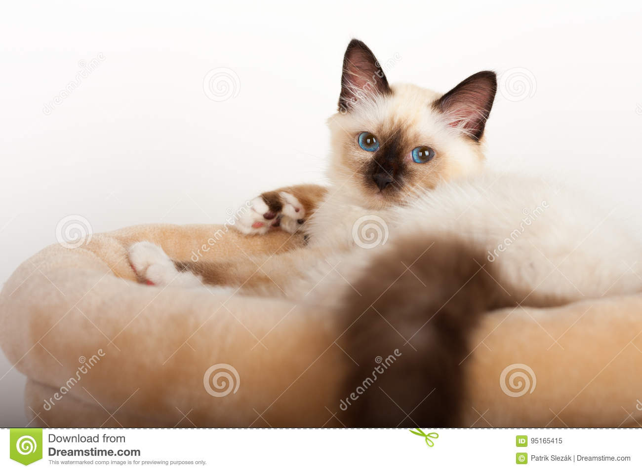 A Seal Point Birman Cat 4 Month Old Kitten Male Stock Image