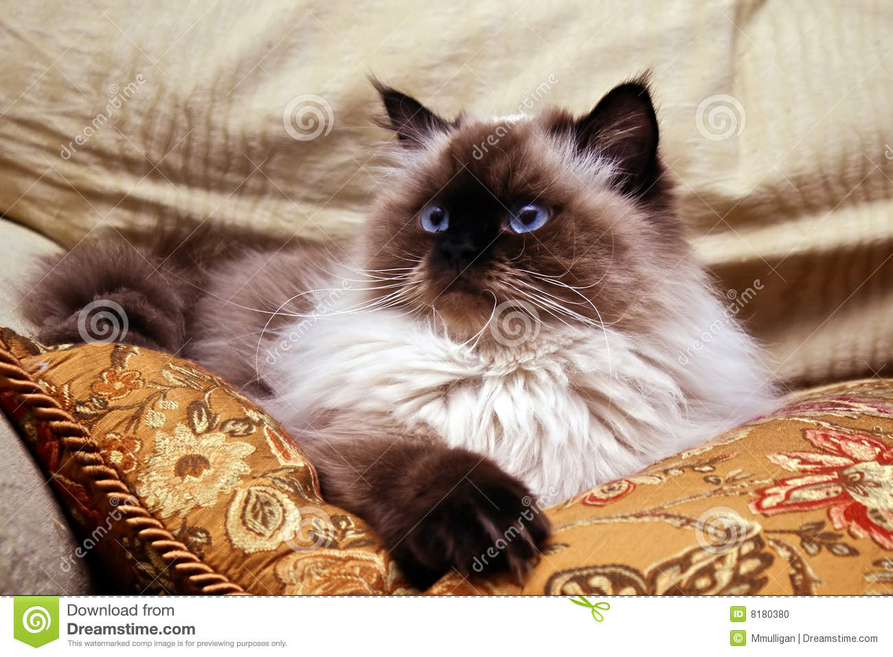 Seal Point Cat Stock Photo Image Of Long Hair Animal