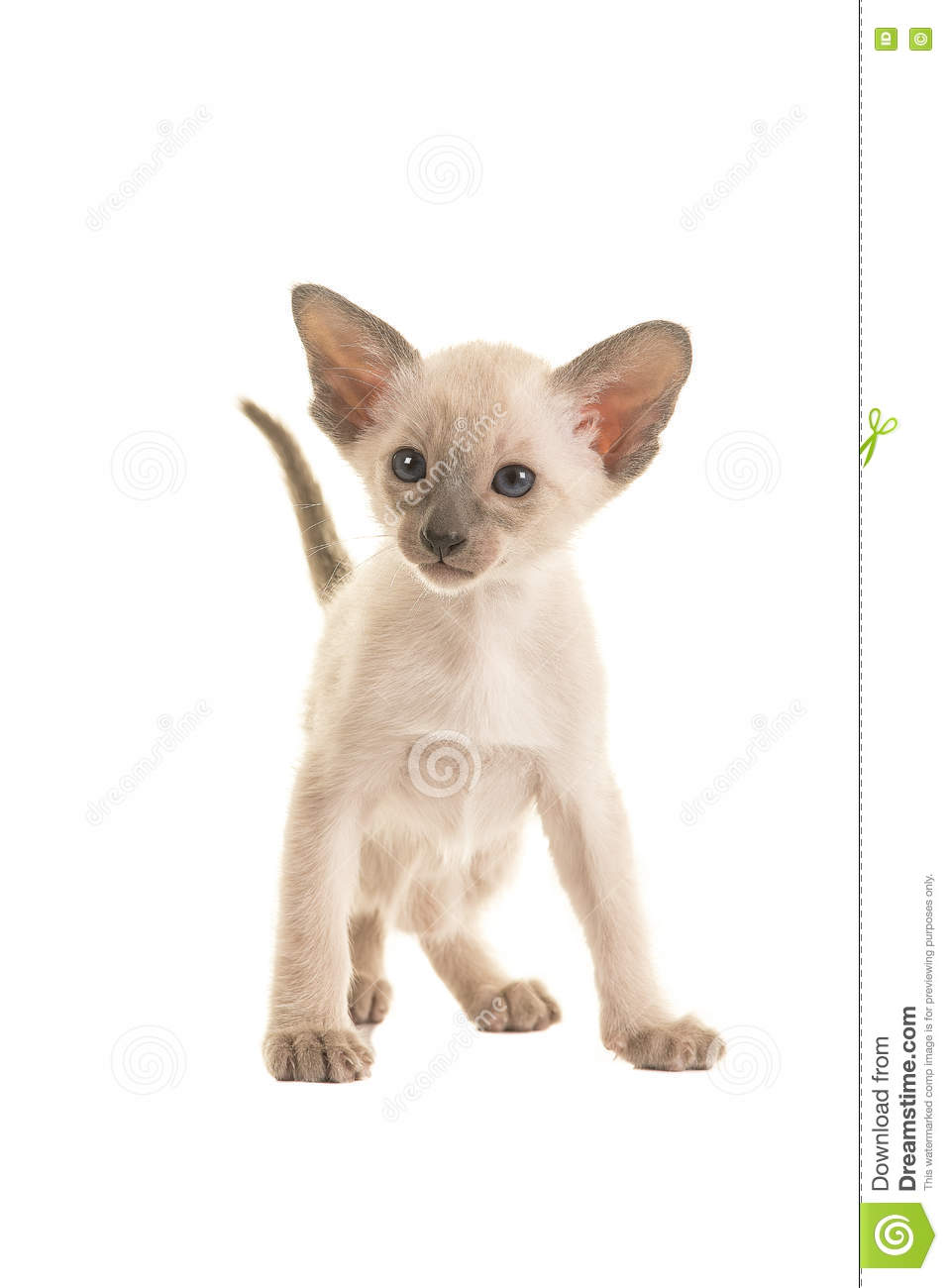 Seal Point Siamese Baby Cat Stock Image Image Of Kitten