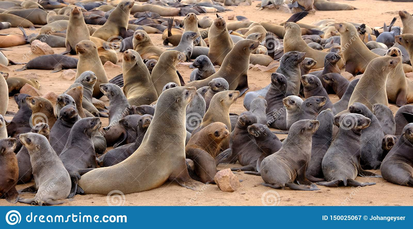 Young Cape fur seal pups with their mothers at the seal colony on the beach at Cape Cross on the Namibian coast.