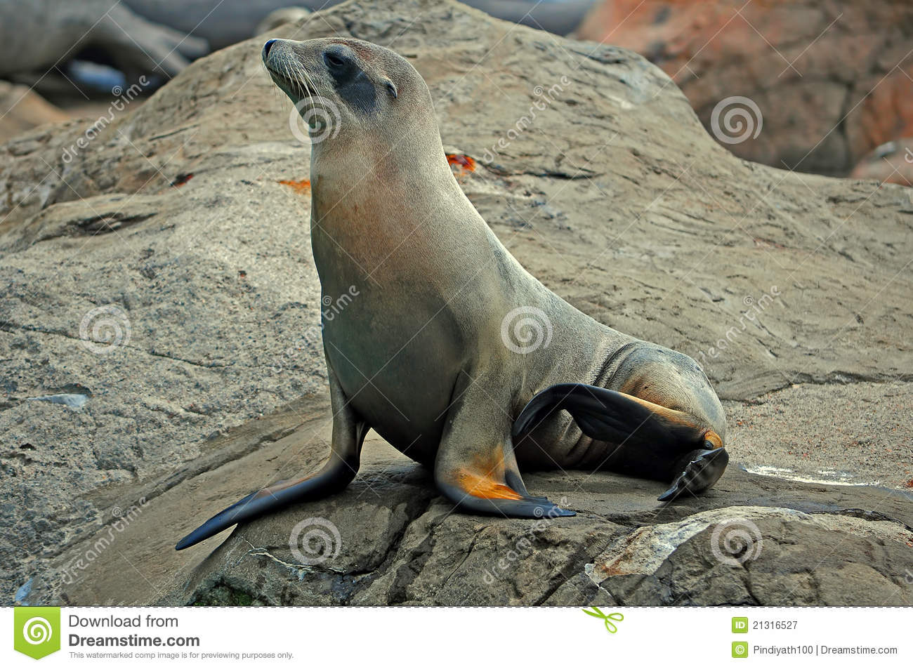 Seal Or Sea Lion On The Rock Royalty Free Stock ...