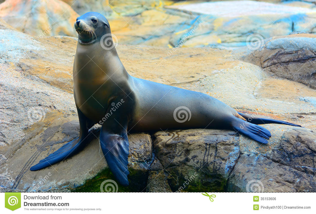 Seal Or Sea Lion On The Rock Royalty Free Stock Image ...