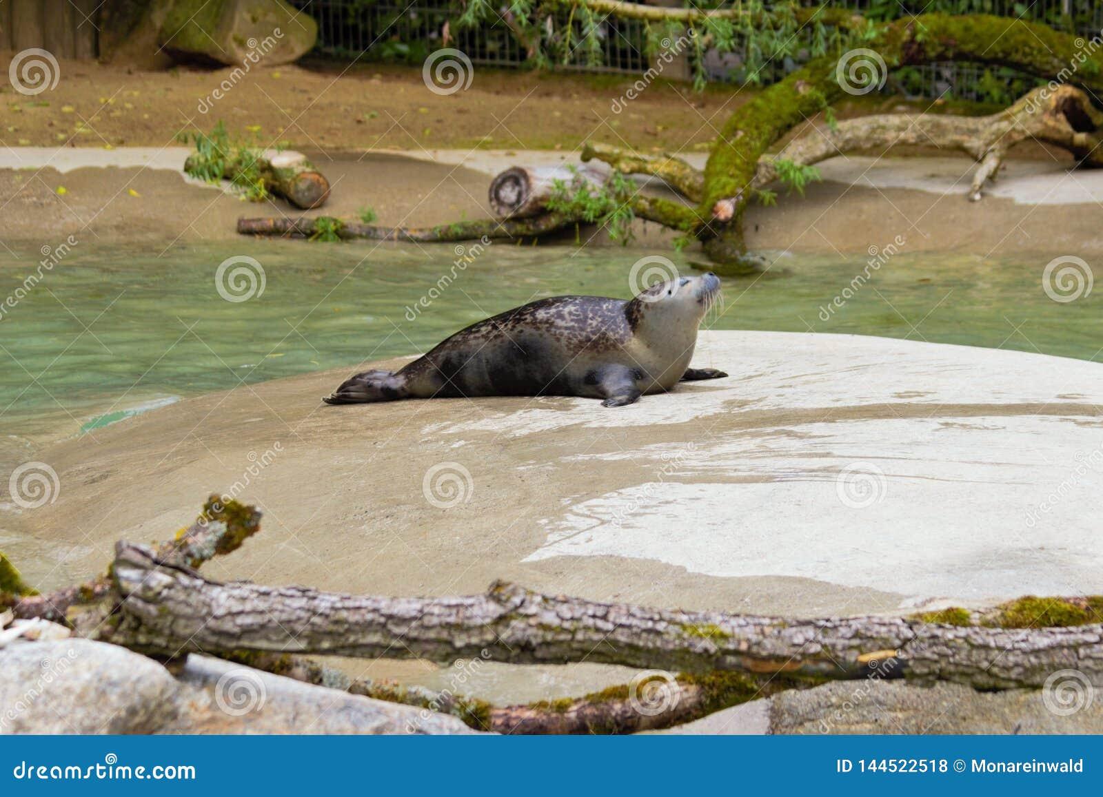 Seal sunbath in zoo in Augsburg in germany