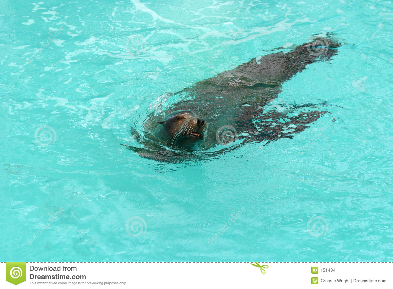 Seal Swimming 2