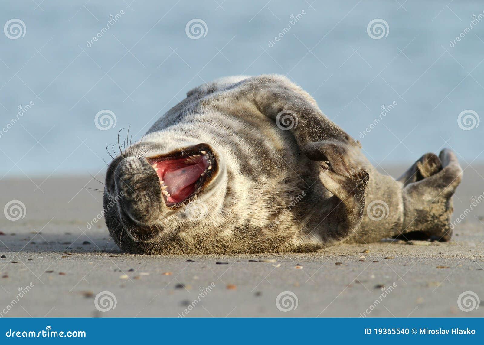 Seal yawning