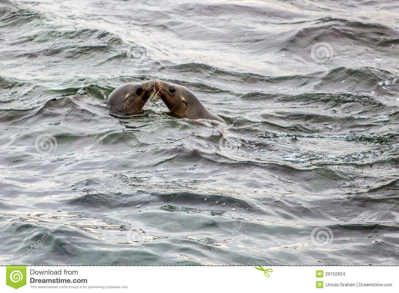 Seals Kissing in the Ocean