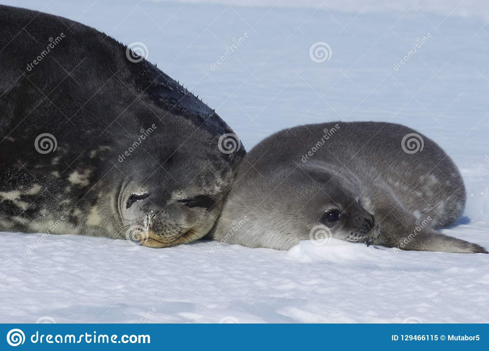 Seals - ringed seal Pusa hispida, lying in the snow on a sunny day and looking at the camera.