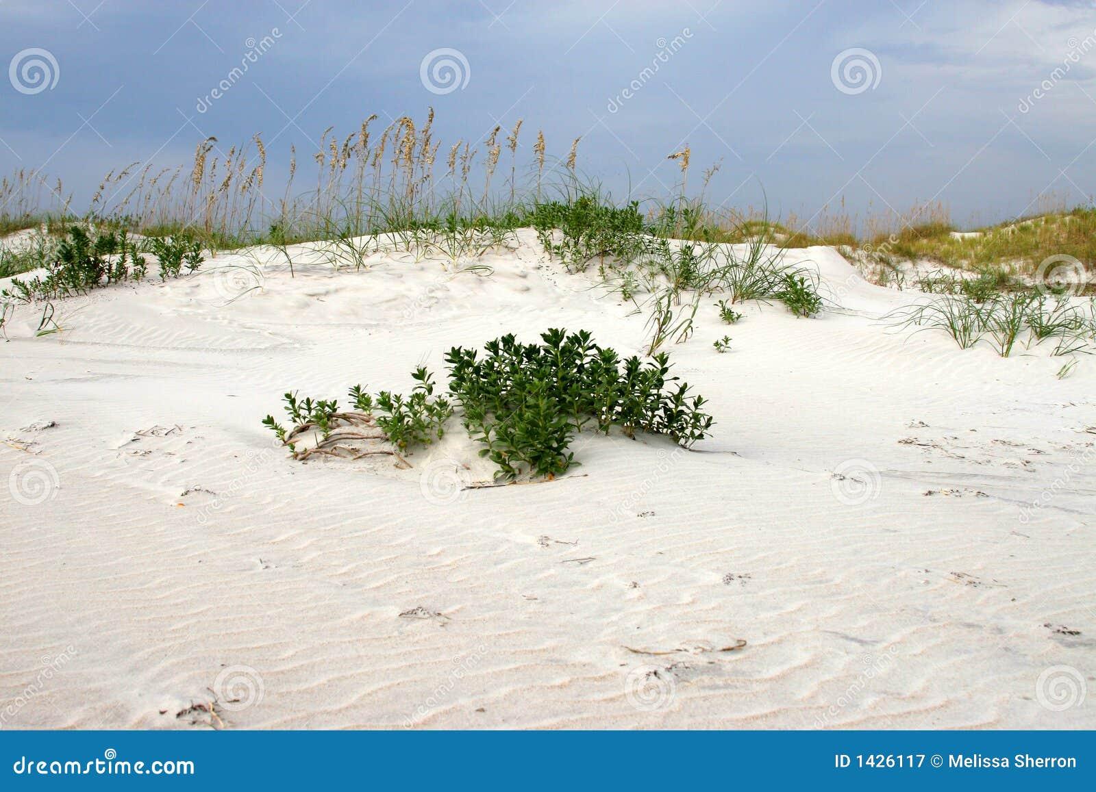 Seaoats sur la dune contre s bleu