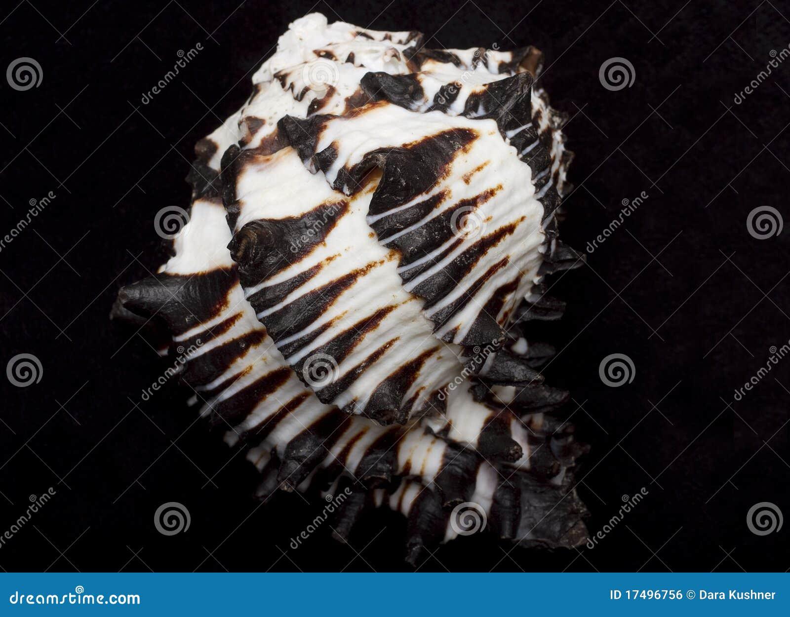 Seashell blanco y negro