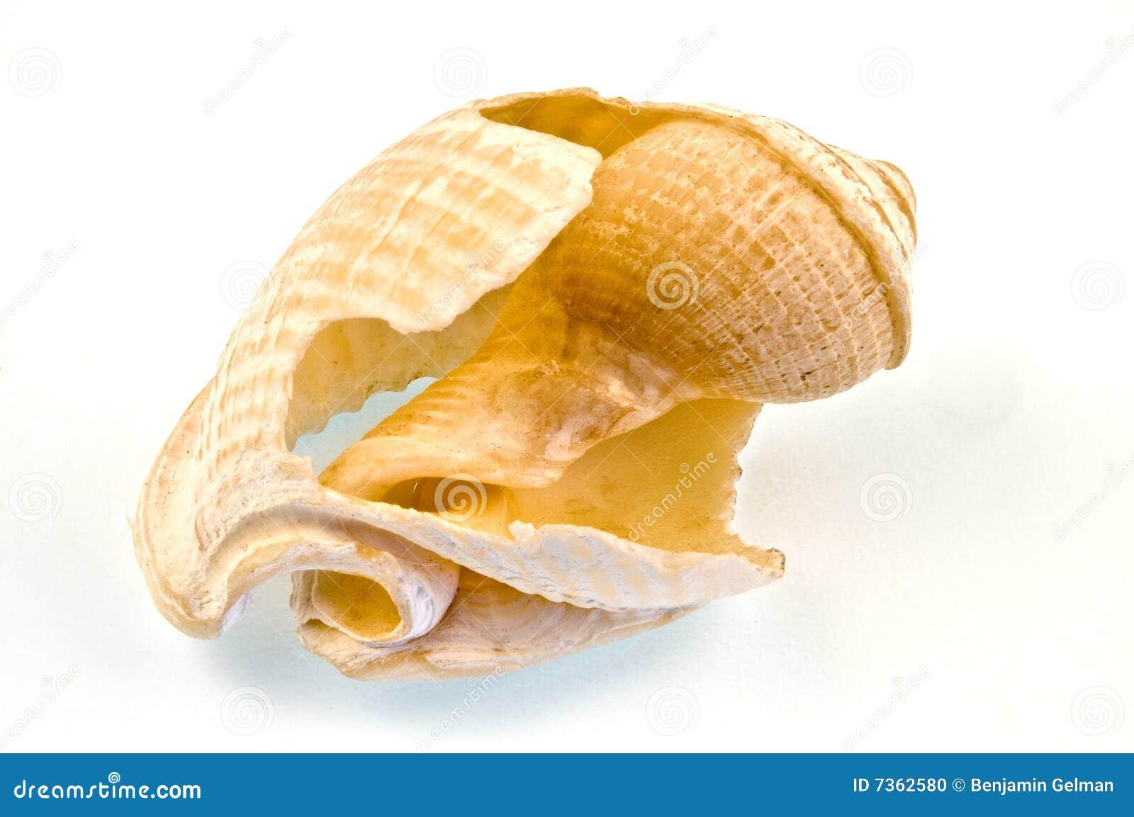 Seashell cassé