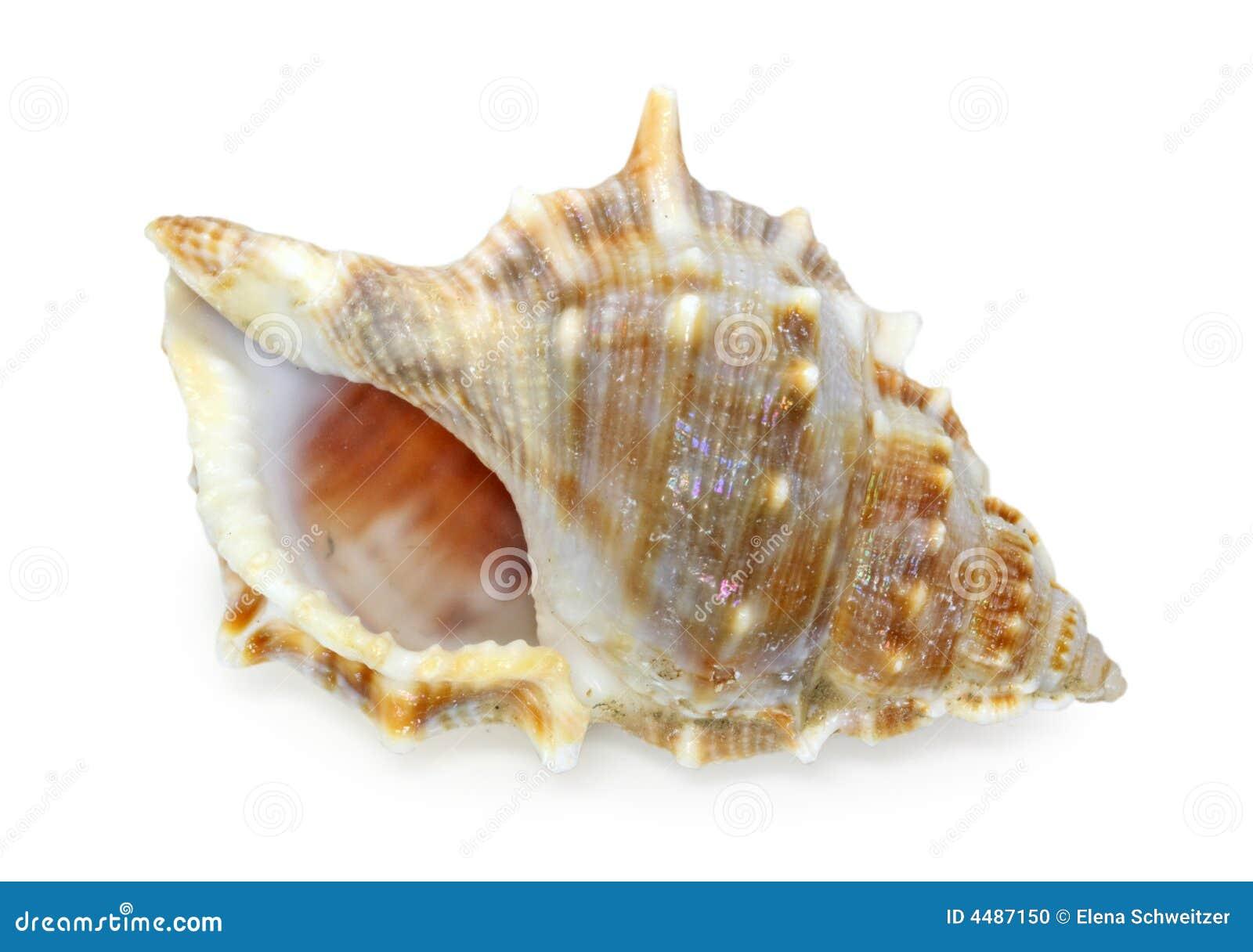 Seashell d isolement sur le fond blanc