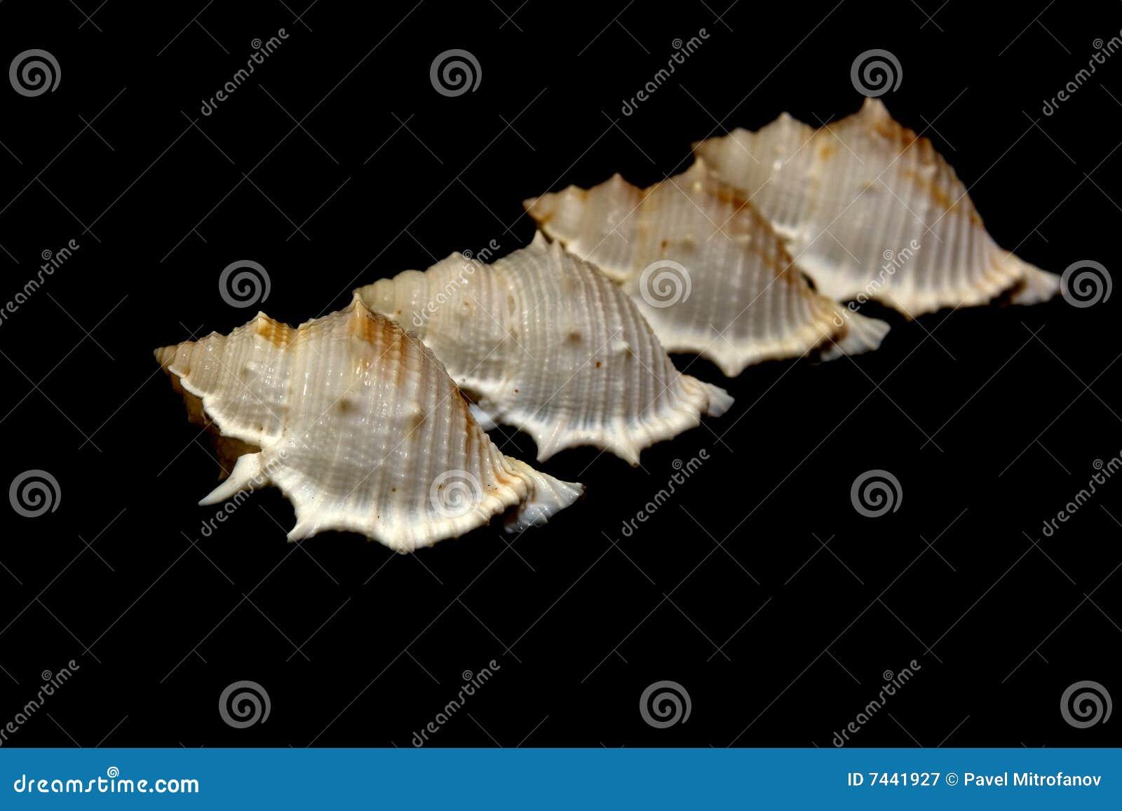Seashell de groupe