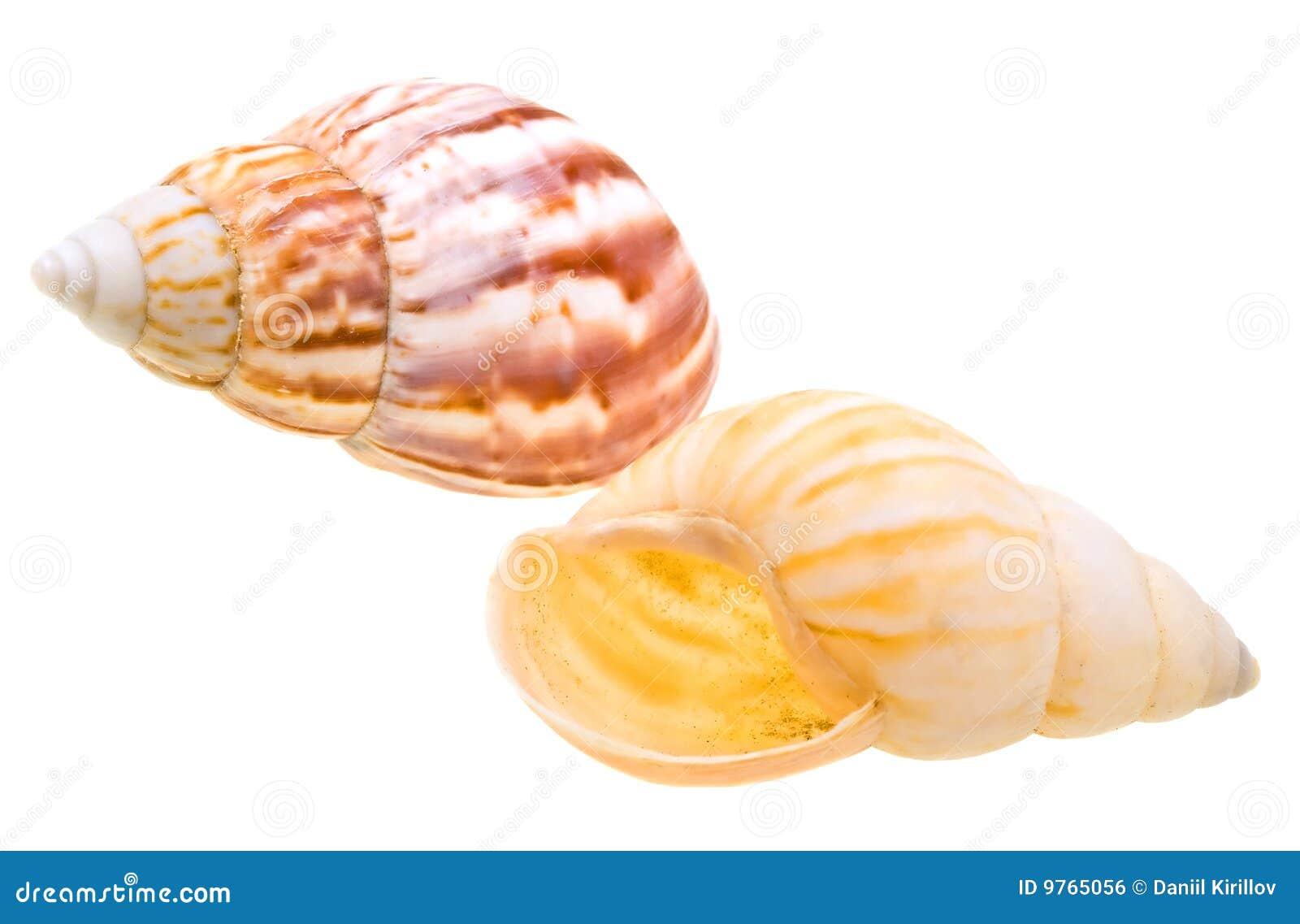 Seashell do Scallop do oceano isolado no branco